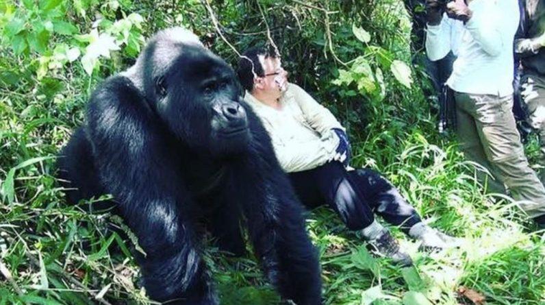 Corona now threatens gorillas too  Abroad