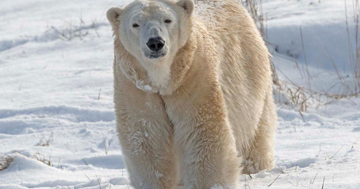 Polar bear kills a female while trying to mate at zoo |  abroad