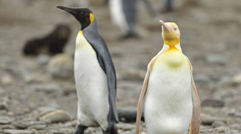 Yellow Penguin may be captured for the first time: 'extraordinary and extremely valuable'