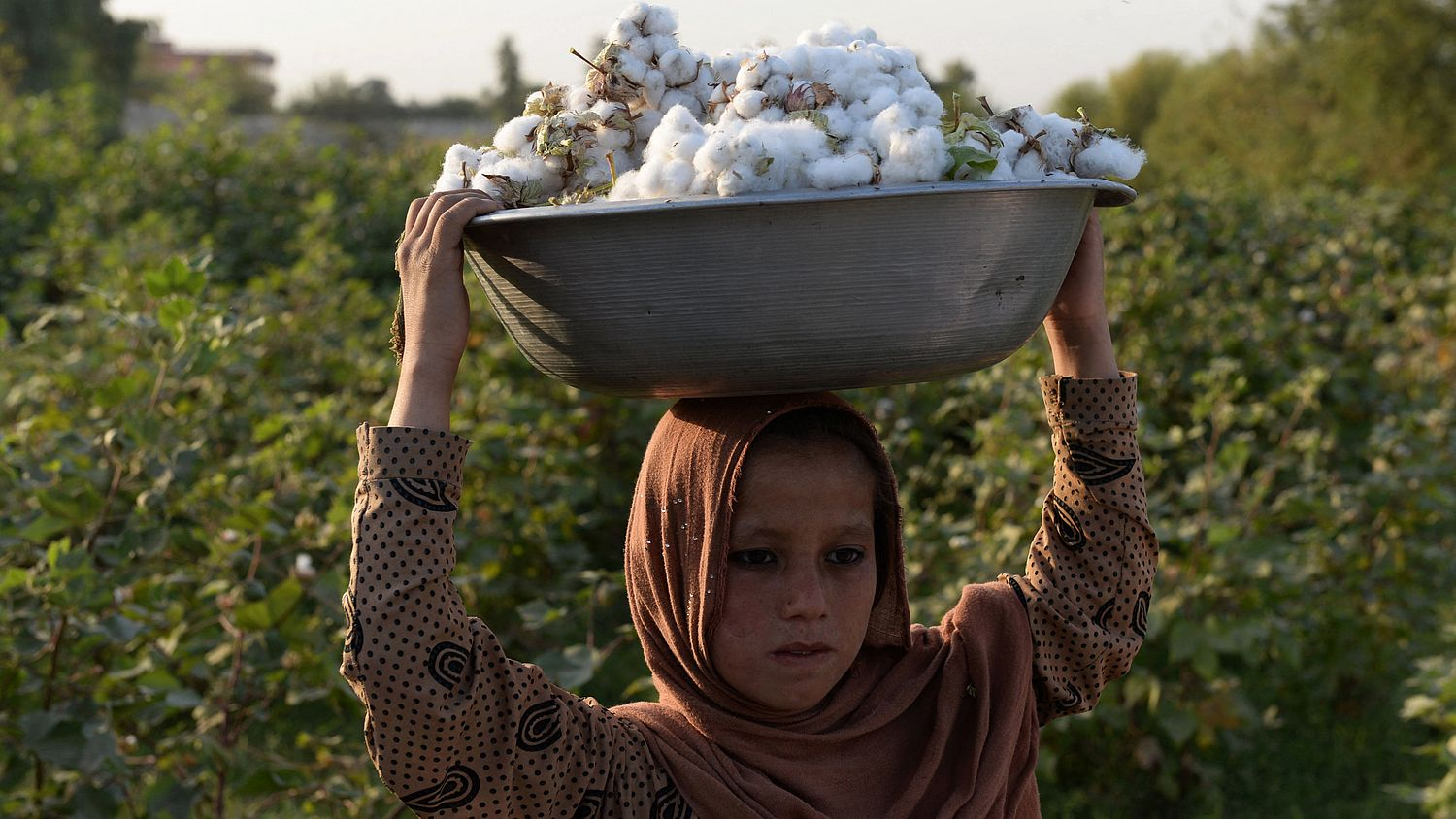 Why making cotton without poison is not so easy