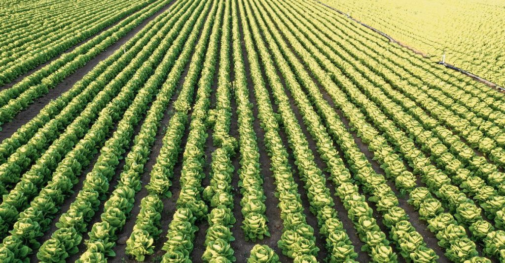 Cultivated lettuce went to the United States around the world