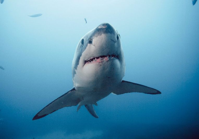 Sharks use the Earth's magnetic field as a GPS system
