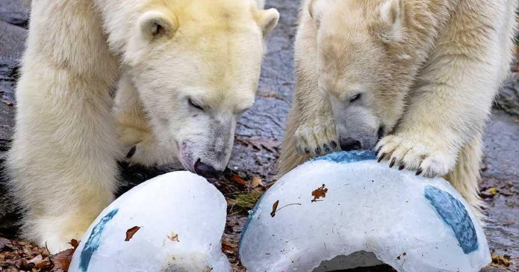 Shocked Berlin: A polar bear couple transform into brother and sister |  abroad