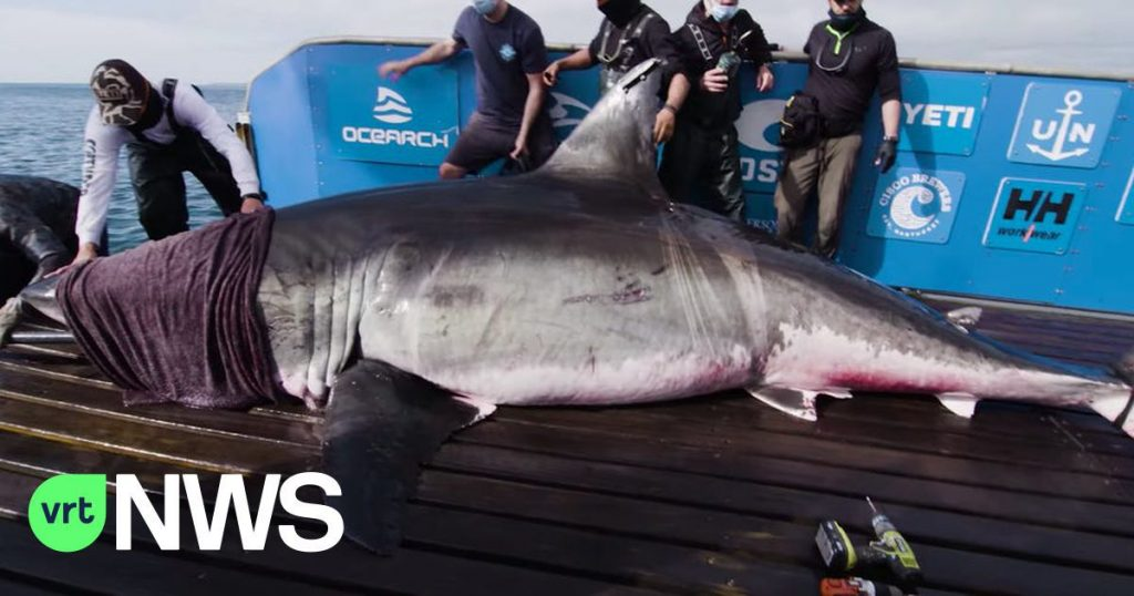 The white shark Nugumi did not come to Europe, she returned to the United States