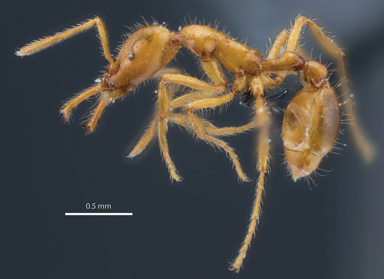 This ant was given its first gender-neutral scientific name