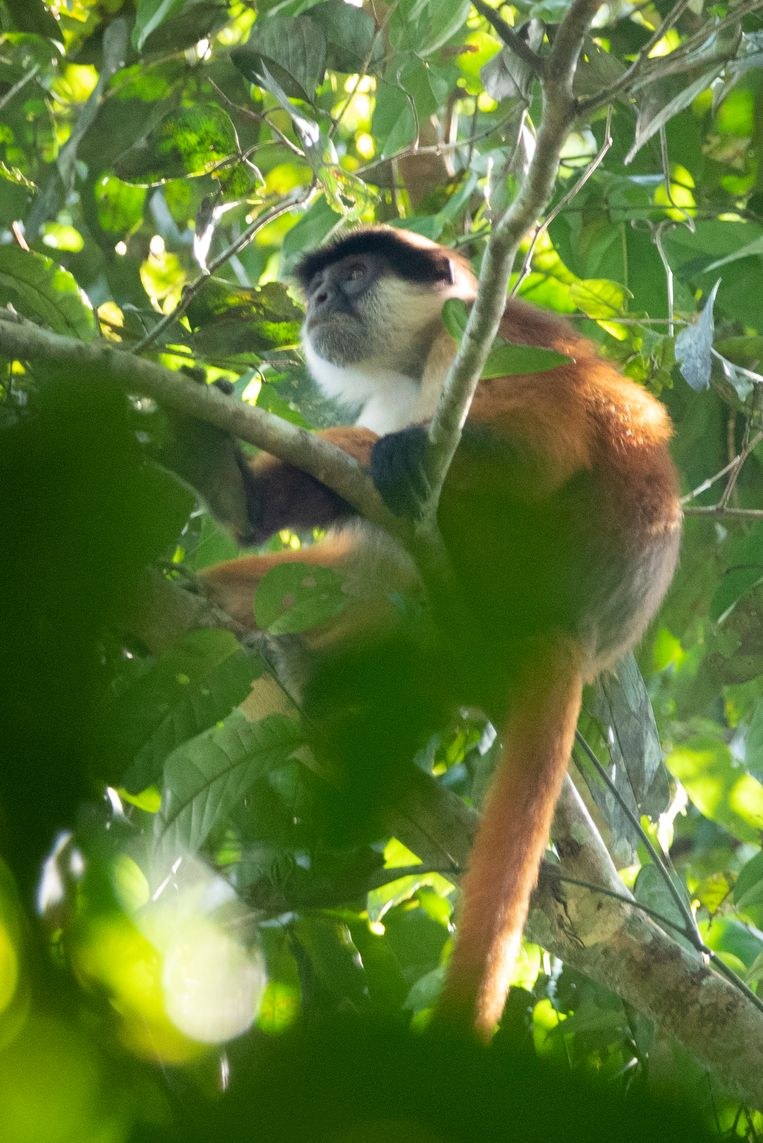 This very rare red monkey appears to be extinct until photographed
