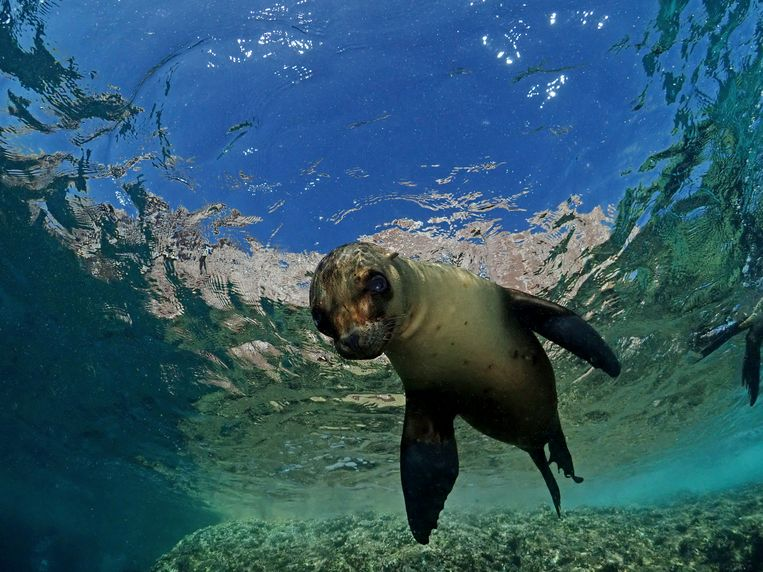 Why do seals swim with their belly and sea lions with their front fins?  There is finally an answer