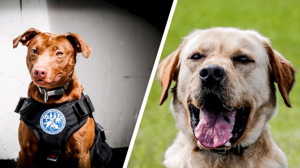 Dutch dogs Bruce and Boris to find jaguar hunters: 'Their nose is brilliant'