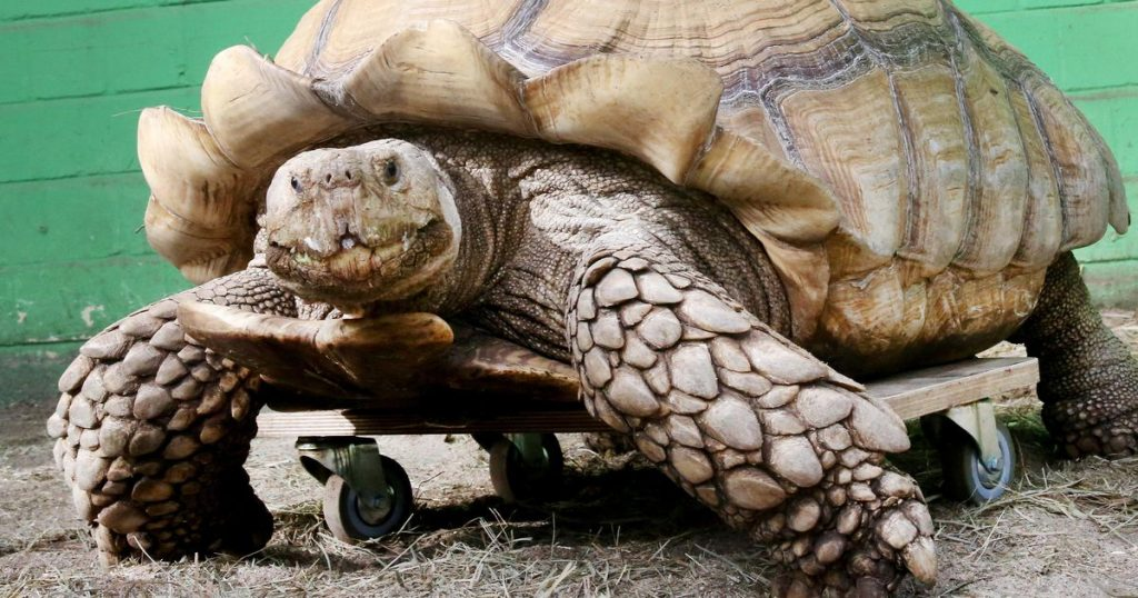 German turtle weighing 100 kg, mobile again thanks to the skateboard    abroad