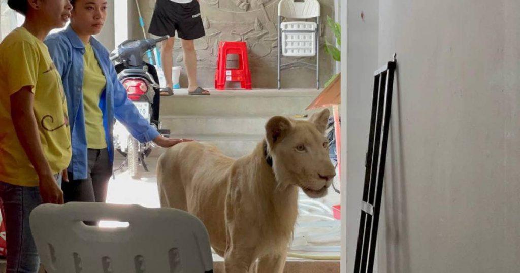 'Lion House' set in Cambodia, Courtesy of TikTok |  abroad