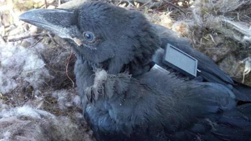 Research into the cooperation between crows and wolves in Filoy