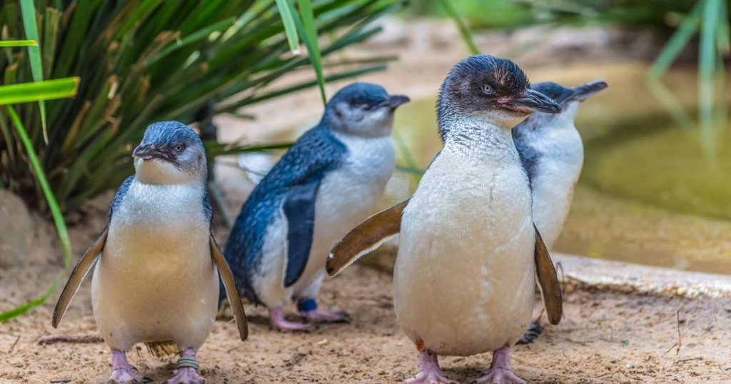 Tasmanian devils wreaking havoc on Australian island: 6000 penguins wiped out |  science and planet