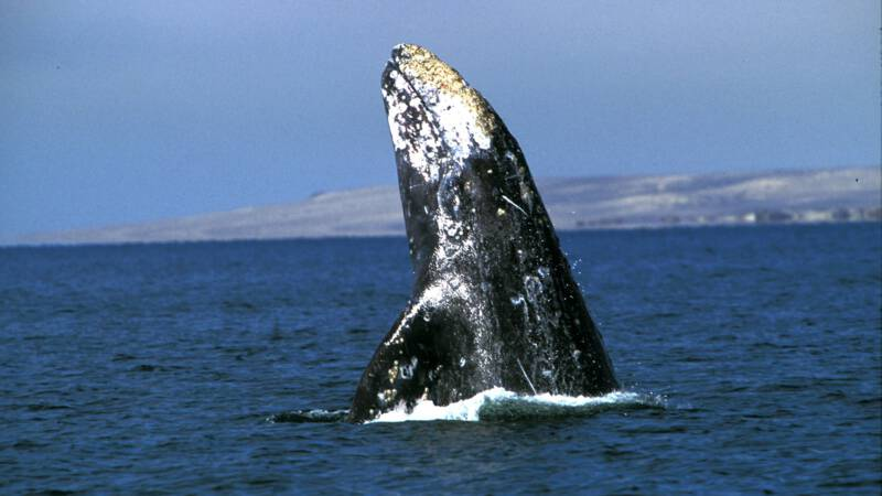 The gray whale swims a record distance of 27,000 km