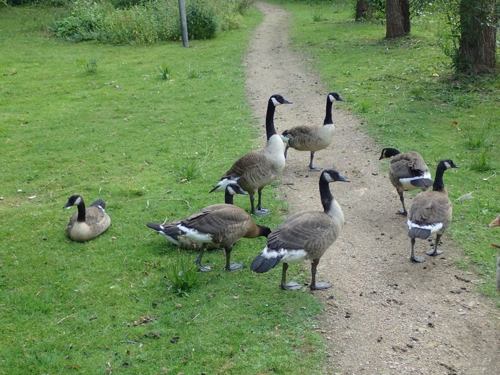 Natural News: Large families of Canadian ducks
