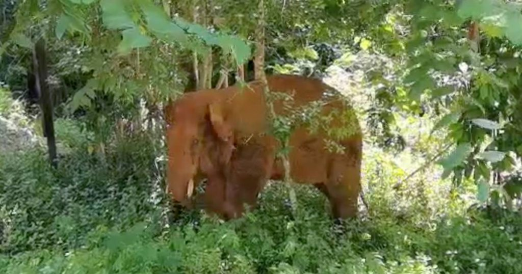 China's Rogue Elephant Herd: Lonely Bull Captured and Returned to Reserve |  abroad