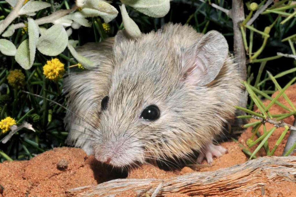 It turns out that the mouse that was believed to be extinct is still alive
