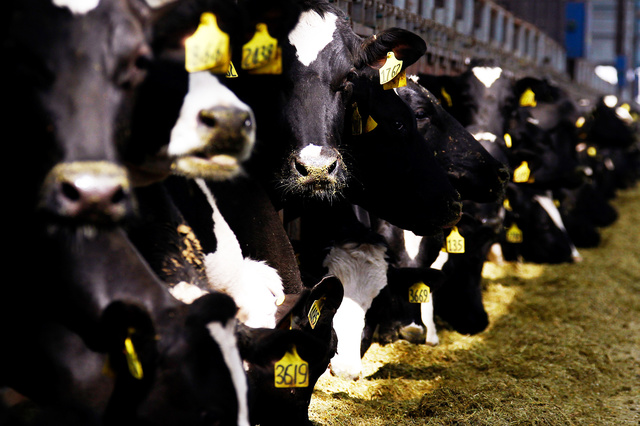 Research: Microbes in cow stomachs break down plastic - science البلاستيك