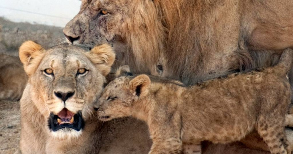 African family bash: 3 children killed by lions in Tanzania    abroad