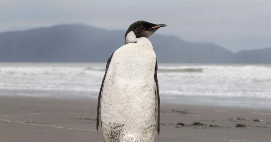 Emperor penguins will be extinct in eighty years |  abroad