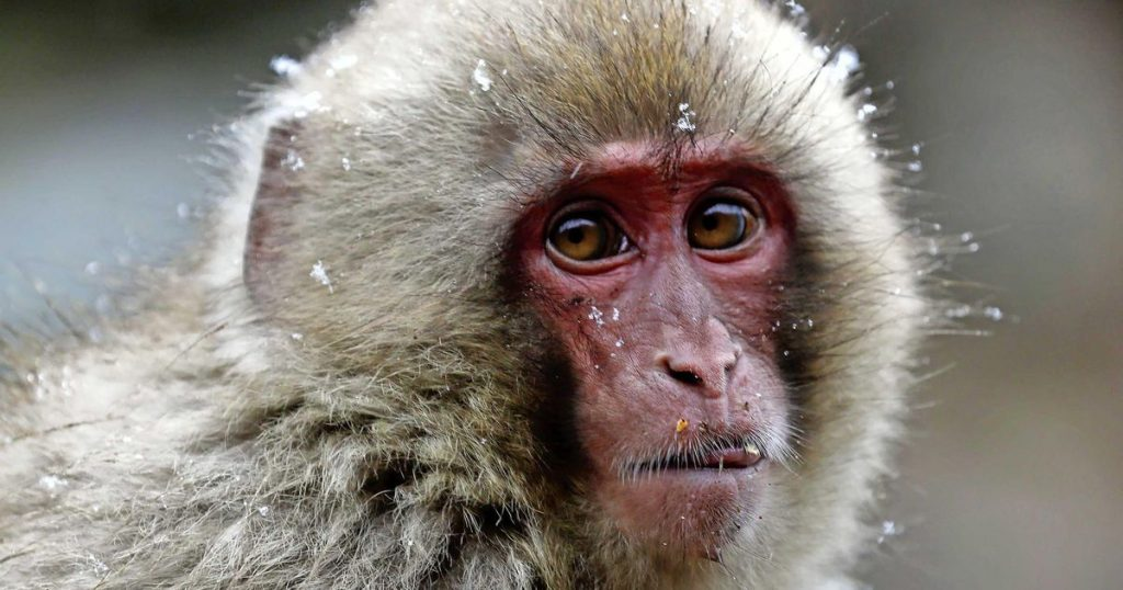Fred: A female seizes power in a Japanese monkey colony |  abroad