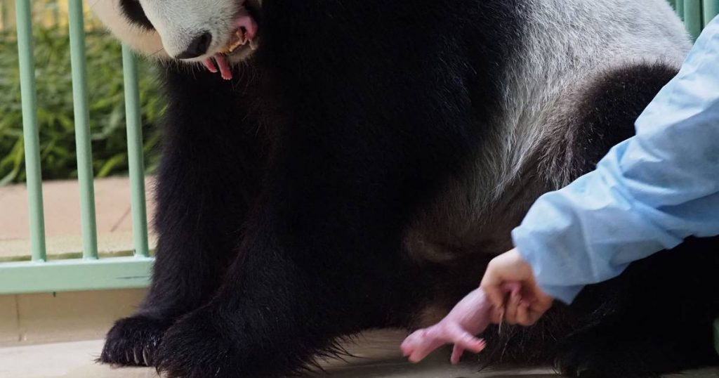 Giant panda lent by France gives birth to twins    abroad