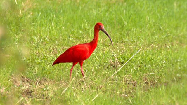 Rare scarlet ibis of South America found in Walkenberg 1 Limburg