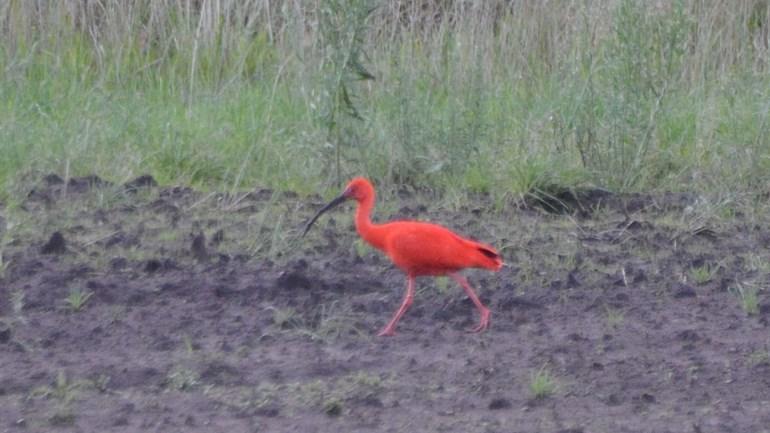 Deze rode ibis loopt in Hooghalen (Rechten: Marije Kanaar)
