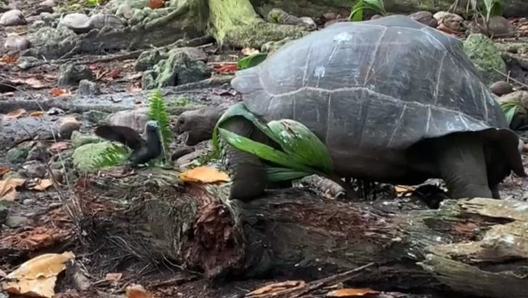The giant tortoise, which is usually a strict herbivore, feeds on the small bird