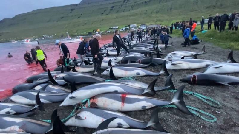 Never before have so many dolphins and pilot whales been killed in the Faroe Islands massacre