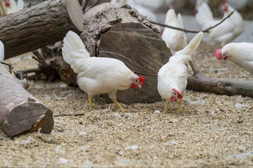In the United States they will soon be eating climate-neutral eggs from Gipster