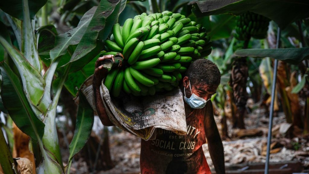 La Palma volcano eruption threatens yellow gold: 'Our banana plantations are being swallowed up'